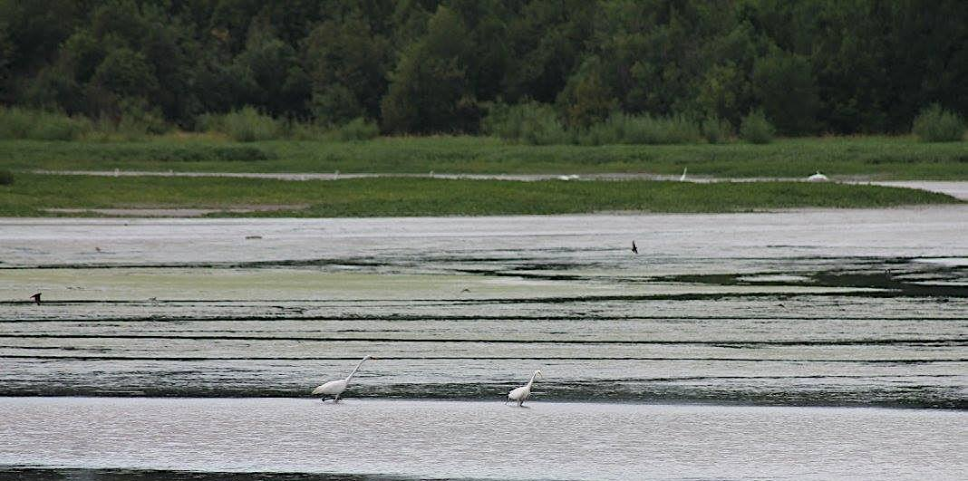 Great egrets wade in wetlands at Smith and Bybee. Smaller black birds can be seen in flight over the water.